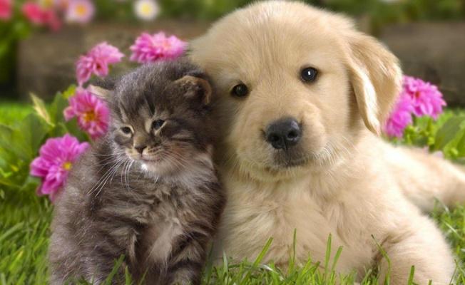 Kediler ve köpekler de Covid-19'a yakalanabiliyor